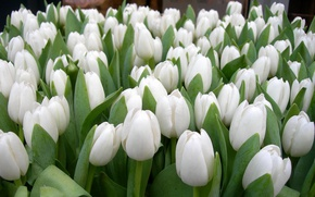 Wallpaper garden, tulips, petals, spring