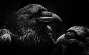 Picture birds, beak, Raven