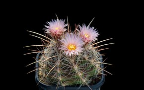 Picture macro, cactus, barb, spikes, black background, pink flowers
