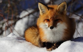 Picture winter, look, face, snow, nature, Fox, lies, Fox
