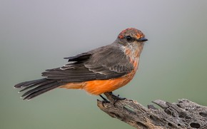 Picture bird, beak, tail, red Tyrann