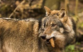 Wallpaper bump, vegetarian, predator, wolf