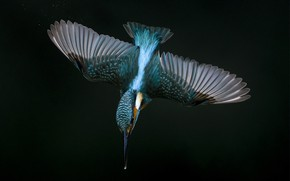 Wallpaper peak, wings, flight, Kingfisher
