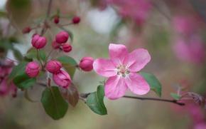 Picture flower, macro, branch, Apple, buds, flowering