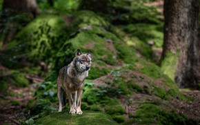 Wallpaper nature, forest, moss, wolf, stone