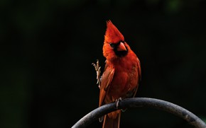 Picture red, bird, red, bird, cardinal, Angry Birds, cardinal, Red cardinal, Angry Birds, Red Cardinal