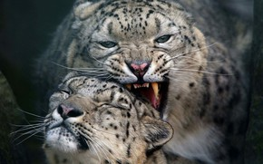 Picture cats, pair, snow leopard