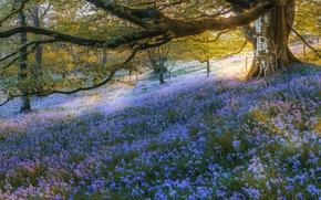 Wallpaper forest, trees, flowers, Scotland, bells, Scotland, Bluebell Wood, Gartmore, Gartmore