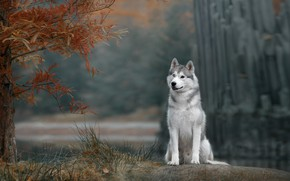 Wallpaper autumn, dog, Husky