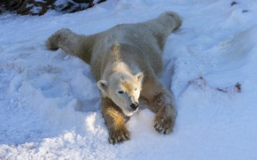 Picture winter, white, snow, bear, bear, winter, North, polar