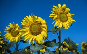 Picture summer, the sky, sunflowers