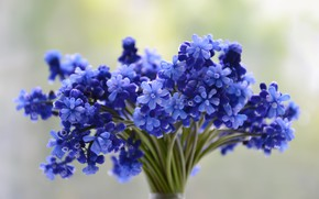 Picture flowers, blue, bouquet, Muscari