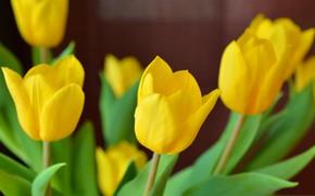 Wallpaper leaves, spring, tulips, petals