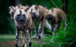 Picture nature, animals, African Wild Dogs