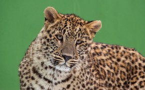Picture young, eyes, cute, face, portrait, background, spotted, leopard, green, wild, look, cat
