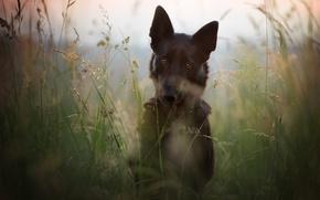 Wallpaper field, summer, grass, face, nature, stems, portrait, dog, meadow, black, German shepherd, dog, shepherd, German, ...