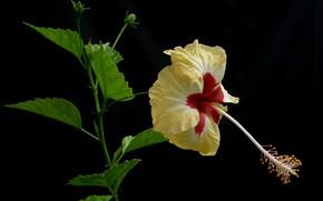 Picture leaves, macro, background, petals, hibiscus