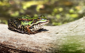 Picture frog, log, green