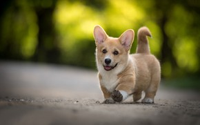 Picture puppy, doggie, Welsh Corgi