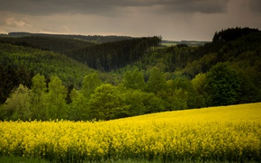 Picture trees, yellow, field, forest, meadows, rape