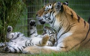 Picture tiger, zoo, tiger, big cat