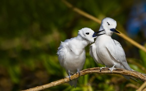 Picture bird, Canada, Ocean State Memorial, white tern
