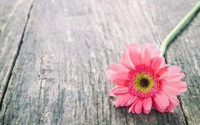 Picture flowers, gerbera, wood, pink, flowers, spring, gerbera, tender