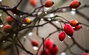 Picture drops, nature, berries