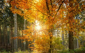 Picture autumn, forest, leaves, the sun, rays, trees