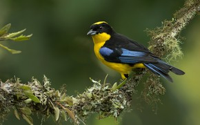 Picture background, bird, branch, Blue-winged mountain tanager