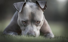 Picture grass, look, face, dog, Pit bull, American pit bull Terrier