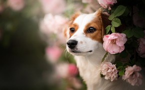 Picture look, face, flowers, portrait, roses, dog, bokeh