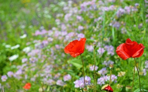 Picture Spring, Maki, Spring, Poppies