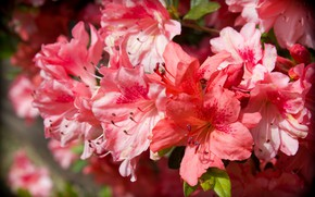 Picture flowers, nature, background, beauty, branch, petals, garden, stamens, red, pink, flowering, al, Azalea, rhododendrons