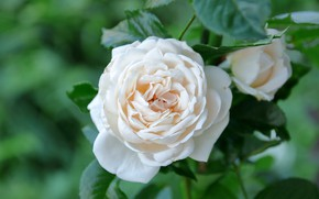 Picture macro, rose, petals, buds, white rose