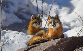 Wallpaper winter, snow, smile, stone, Fox, smiling Fox