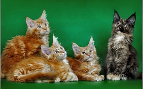Picture background, cats, red, Maine Coon, photoshoot