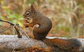 Picture tail, squirrel, rodent, red squirrel