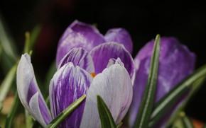 Picture Krokus, saffron, Crocus