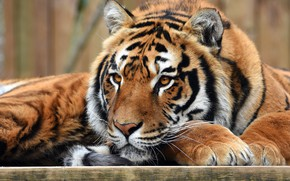 Wallpaper paws, eyes, cats, tiger, wild cats, face, background, wildlife, lies, look, portrait
