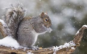 Picture wood, snow, squirrel