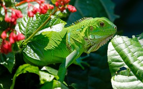 Picture nature, Sheet, Iguana, Reptile
