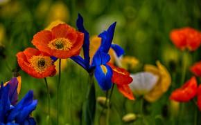 Picture summer, flowers, Mac, irises, flowering