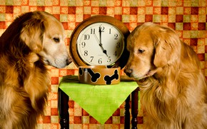 Picture bowl, stool, lunch, watch, Retriever, Golden, the situation, dogs, two, Dinner Time, red, time