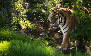 Picture grass, flowers, tiger, wild cat
