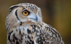 Picture owl, bird, blurred background, by Nushaa