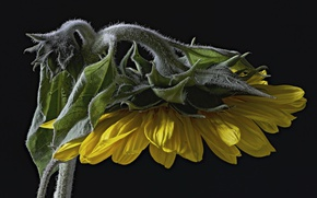 Picture macro, background, sunflower