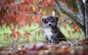Picture autumn, leaves, tree, dog, puppy, Akita inu
