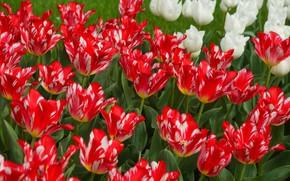 Picture petals, garden, tulips
