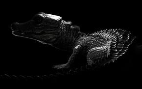 Picture crocodile, art, Caiman, Antoine Verney-Carron, Dwarf Caiman